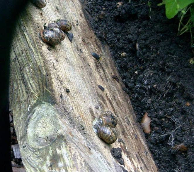 Wooden bed edges provide an ideal home for slugs unless picked daily