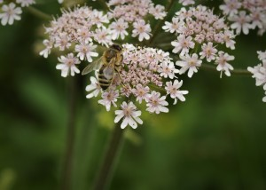 Bee on Cow Parsley