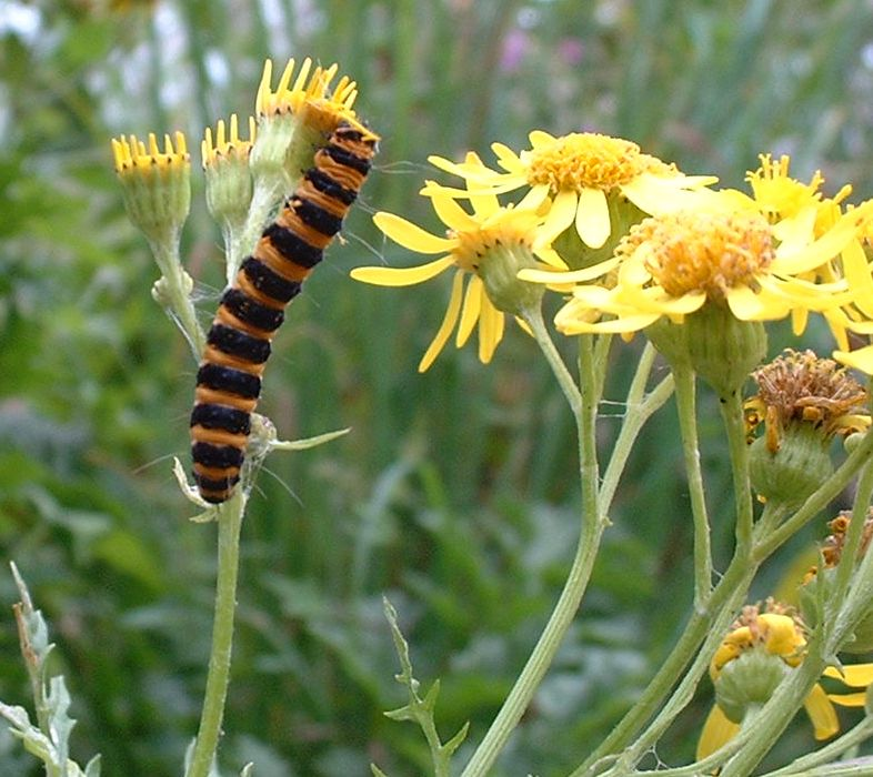 Ragwort and Cinnabar Moth catterpillar - Aug 2002