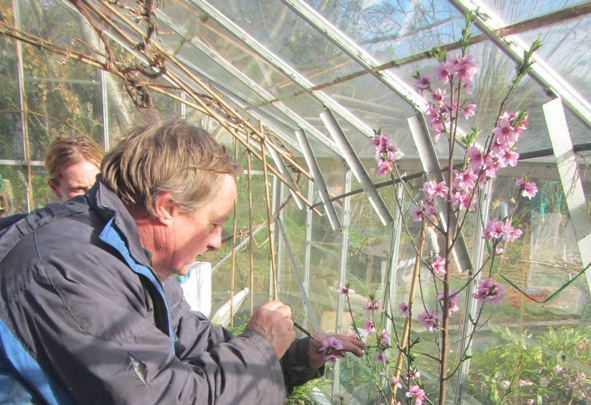 pollinating the peach tree