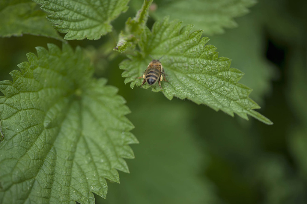 Bee on nettle