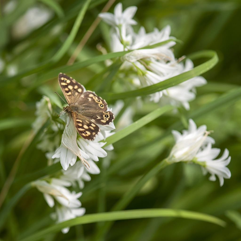 Speckled Wood on three-cornered leek